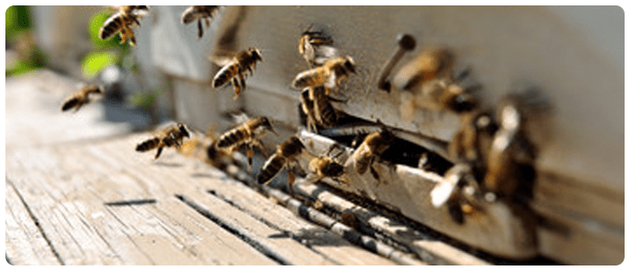 Safe and Reliable Bees and Wasp Control In Mentone